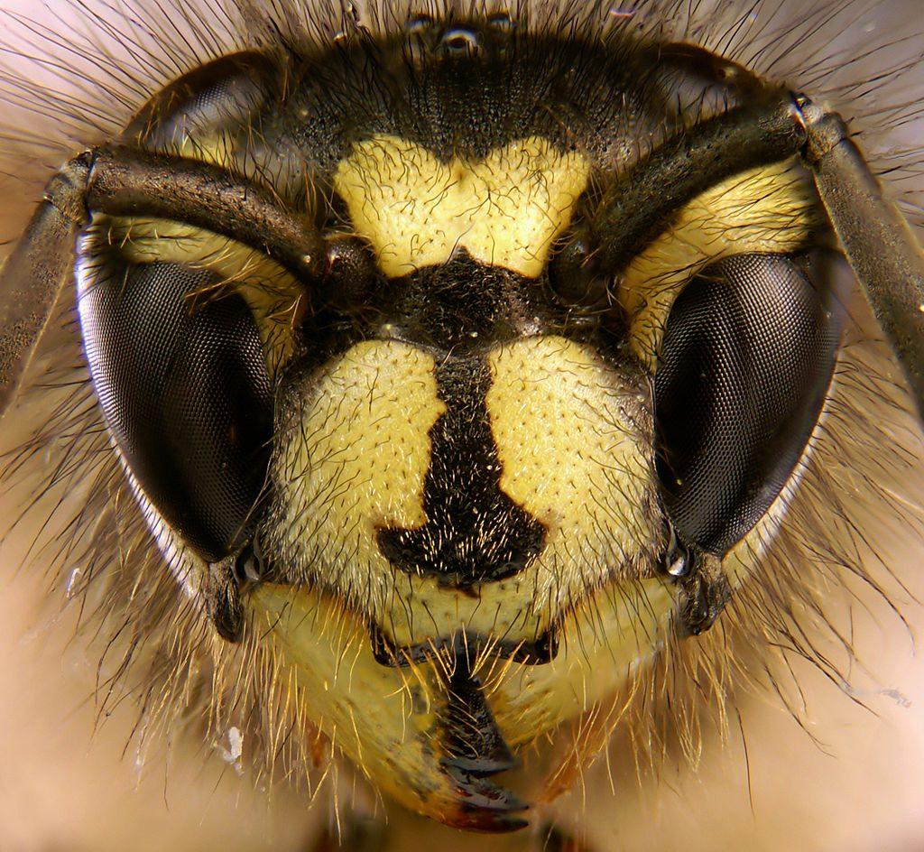 Eine Wespe. PHOTO: Tim Evison
